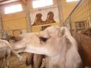 Kamelhof-Afrikafest-2010-Rotfelden-060810-Bodensee-Community-seechat_de-P1000302.JPG