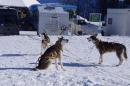 Schlittenhunderennen-Bernau-04022012-Bodensee-Community-seechat_de_113.jpg