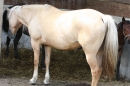 Criollos-Equitation-Hoffest-Gailingen-040812-Bodensee-Community-SEECHAT_DE-_601.JPG