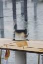 Dampfboot-Rennen-Bodman-01-06-2013-Bodensee-Community-SEECHAT_de-_130.jpg