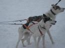 Schlittenhunderennen-Todtmoos-20100131-Bodensee-Community-seechat_de-IMG_8497.JPG