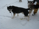 Schlittenhunderennen-Todtmoos-20100131-Bodensee-Community-seechat_de-IMG_8509.JPG