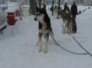 Schlittenhunderennen-Todtmoos-20100131-Bodensee-Community-seechat_de-IMG_8514.JPG
